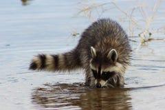 搜寻泥泞的湖底的浣熊 图库摄影