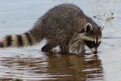 搜寻泥泞的湖底的浣熊 免版税库存照片