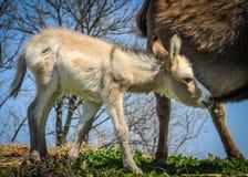 搜寻牛奶的小驮货驴子 免版税图库摄影