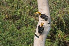 搜寻他们的巢的两三群伟大的犀鸟 库存照片
