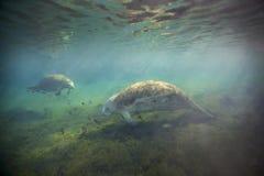 搜寻的海牛-扇动春天 库存照片