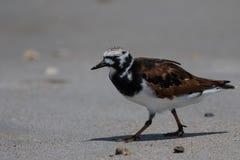 搜寻的翻石鹬, Playalinda海滩,梅里特岛,弗洛尔 免版税库存照片