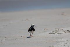 搜寻的翻石鹬, Playalinda海滩,梅里特岛,弗洛尔 库存照片