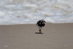 搜寻的翻石鹬, Playalinda海滩,梅里特岛,弗洛尔 免版税图库摄影