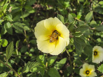 搜寻花粉的蜂 免版税图库摄影