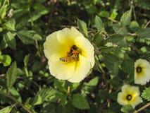 搜寻花粉的蜂 库存照片