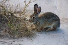 搜寻荒地的兔子 免版税库存图片
