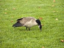 搜寻食物的一只加拿大鹅 免版税库存照片