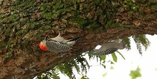搜寻食物的两只红色鼓起的啄木鸟 免版税库存图片