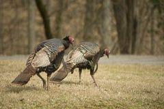 寻找食物的二只野生火鸡。 免版税库存照片