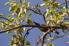 搜寻食物的椋鸟科鸟他的刚孵出的雏坐appletree分支 库存图片
