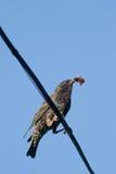搜寻食物的椋鸟科鸟他的刚孵出的雏 免版税库存图片
