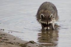 搜寻食物的浣熊 库存图片