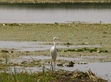 搜寻食物的白色苍鹭在湖 免版税图库摄影