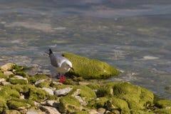 搜寻食物的红开帐单的海鸥 免版税库存照片