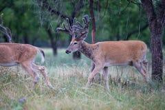 搜寻食物的美丽的白尾鹿 库存照片