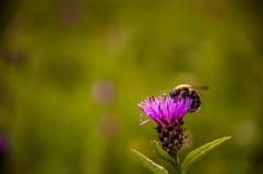 搜寻食物的蜂 图库摄影