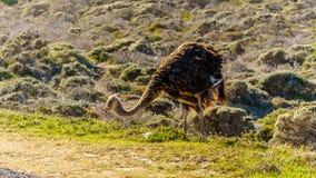 搜寻食物的驼鸟在开普角在开普敦半岛的自然保护 库存图片