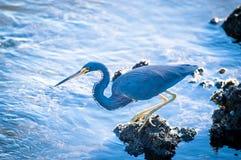 搜寻食物的Tricolored苍鹭 免版税库存照片