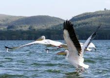 搬走和飞行在奈瓦夏湖,肯尼亚的美丽的伟大的鹈鹕 免版税库存图片