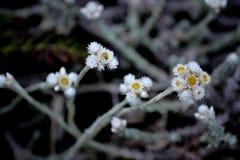 搽粉的圆白菜花 它很好下雨健康的` s 开花发生 免版税库存图片