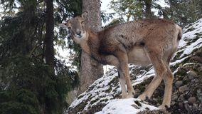 摄制在一个多雪的风景的一头鹿 影视素材