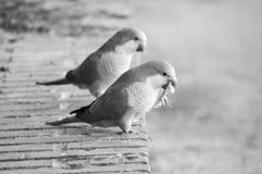 摄影两只长尾小鹦鹉吃 免版税库存照片