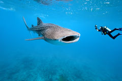 摄影师鲨鱼水下的鲸鱼 免版税库存图片