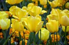 摄影开花的黄色郁金香在春天 库存照片