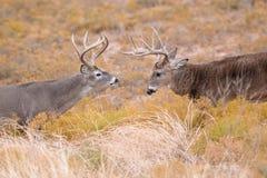 摆出攻击架式两个统治白尾鹿大型装配架 图库摄影