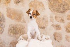 摆在一个白色木箱子和看凸轮的逗人喜爱的幼小狗 免版税库存图片
