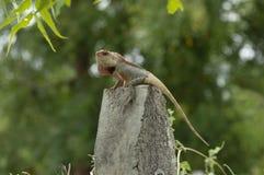 摆在一根具体杆在浦那附近,马哈拉施特拉的庭院蜥蜴 库存图片