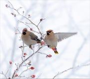 摆在一棵非常积雪的植物的太平鸟在冬天 库存照片