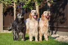 摆在三条英国塞特种猎狗的狗户外 库存图片
