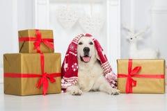 摆在与圣诞节的礼物盒的愉快的狗 库存照片