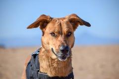 摆在与在海滩的恶魔面孔的布朗狗 免版税图库摄影