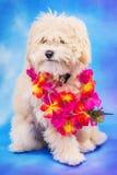 摆在与夏威夷列伊的马尔他/长卷毛狗小狗 免版税库存图片