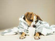 摆在与格子花呢披肩和杯子的床上的逗人喜爱的滑稽的狗 库存图片