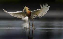 摆在与涂的爪哇苍鹭它的翼 库存图片