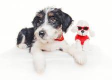 摆在与玩具狮子狗的逗人喜爱的1个月大硬毛的起重器罗素混合小狗 库存图片