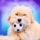 摆在与球的马尔他/长卷毛狗小狗 库存图片