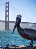 摆在与金门大桥的鹈鹕 库存照片