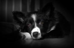 摆在丝毫笼子的博德牧羊犬小狗的画象 免版税库存照片