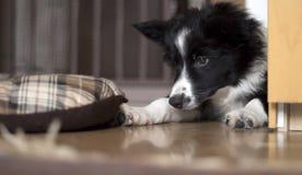 摆在丝毫笼子的博德牧羊犬小狗的画象 免版税库存图片