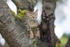 摆在两只德文郡rex的小猫户外 库存照片
