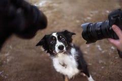 摆在两台照相机前面的博德牧羊犬狗 库存照片