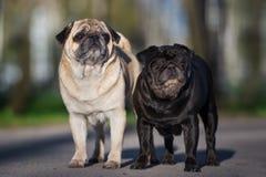 摆在两条哈巴狗的狗户外 库存图片