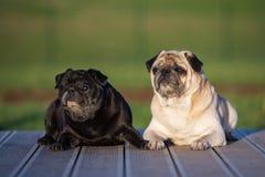 摆在两条哈巴狗的狗户外 图库摄影