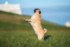 摆在两条哈巴狗的狗户外 免版税库存照片