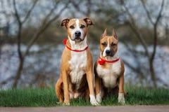 摆在两条美国斯塔福德郡狗的狗户外 库存照片